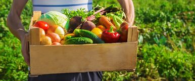 Homemade vegetables in the hands of men. harvest. selective focus. Summer royalty free stock images