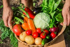 Homemade vegetables in the hands of men. harvest. selective focus. Summer stock image