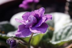 Homemade violet violet flower with green leaves close up under the rays of the spring morning sun. Home violet flower in a pot on the windowsill under the rays stock photography