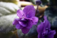 Homemade violet violet flower with green leaves close up under the rays of the spring morning sun. Home violet flower in a pot on the windowsill under the rays royalty free stock photo