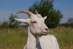 Homemade white goat on pasture in summer. Wool, horns, cheese, milk Royalty Free Stock Image