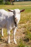 Homemade white goat on pasture in summer. Wool, horns, cheese, milk Stock Photography