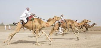 Homens que montam camelos em um campo Imagens de Stock Royalty Free