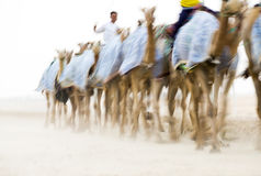 Homens que treinam camelos para uma raça Imagem de Stock