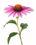 Homeopatía con el echinacea Foto de archivo libre de regalías