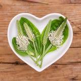 Homeopatía y el cocinar con el llantén Foto de archivo