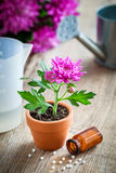 Homeopathic remedies for houseplants and crops, chrysanthemum in pot. Royalty Free Stock Image