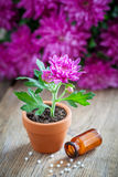 Homeopathic treatment for houseplants and chrysanthemum flower. Royalty Free Stock Images