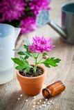Homeopathische remedies voor houseplants en gewassen, chrysant in pot royalty-vrije stock afbeelding