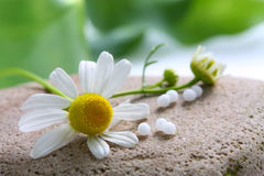Homeopathy - Chamomile flower and globules Stock Images