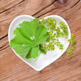 Homeopathy and cooking with lady's mantle Stock Image