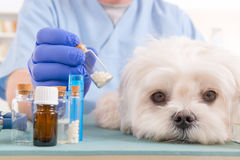 Homeopathy for a dog. Vet holding homeopathic globules for a little maltese dog Royalty Free Stock Photos