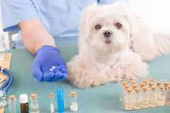 Homeopathy for a dog. Vet holding homeopathic globules for a little maltese dog Royalty Free Stock Image