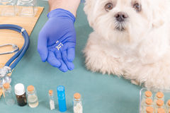 Homeopathy for a dog. Vet holding homeopathic globules for a little maltese dog Stock Photos