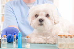 Homeopathy for a dog Royalty Free Stock Photos