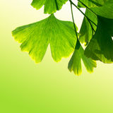 Homeopathy with ginkgo biloba. Ginkgo biloba with light green background for alternative medicine Royalty Free Stock Photography