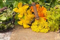 Homeopati medicinalväxter, medicinska örter Arkivfoto