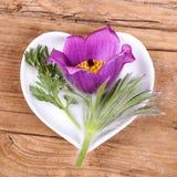 Homeopati och matlagning med pulsatillaen royaltyfria foton