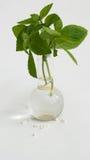 Homeopatia Foto de Stock Royalty Free