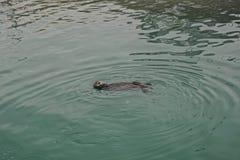 Homer, Alaska: A sea otter - Enhydra lutris - enjoying a swim in the green waters of Kachemak Bay