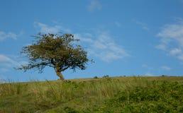 Homerton Hill Meldon Dartmoor. Small hawthorn tree on Homerton Hill Meldon Dartmoor National Park Devon Uk Stock Photo