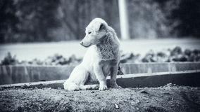 Homesick dog. A dog was watching something Royalty Free Stock Photos