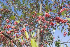 Homey Red berries of the Rowan tree a blue sky Royalty Free Stock Photography