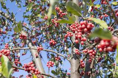 Tree with red ripe berries at autumn. background, nature. Homey red berries tree. tree with red ripe berries at autumn. background, nature Stock Photography