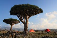 Homhil / Socotra Island. Dragon´s blood tree  at Socotra Island Royalty Free Stock Images