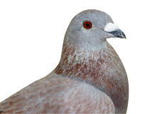 Homing Pigeon Stock Image
