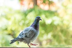 Homing pigeon bird against green blur background Royalty Free Stock Images
