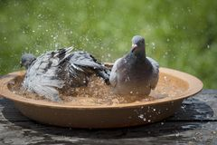 Homing pigeon bird bathing in water bowl Royalty Free Stock Photo