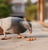 Homing pigeon bird eating peanut royalty free stock image