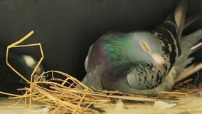 Homing pigeon build home nest by dry straw stock video