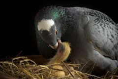 Homing pigeon feeding crop milk to new born bird stock photos