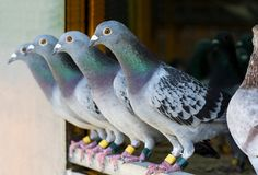 Free Homing Pigeon Perching In Home Loft Royalty Free Stock Images - 159584129