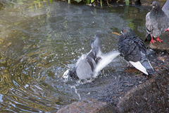 Homing Pigeon playing with water in the pond next to Rock Dove a Royalty Free Stock Photography