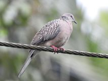 Homing pigeon resting on cable wire Royalty Free Stock Photos