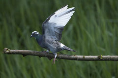 Homing pigeon searching for balance Royalty Free Stock Photography