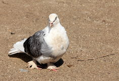 Homing pigeon Stock Photos