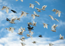 Homing pigeon in the sky Royalty Free Stock Photos