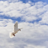 Homing pigeon in the sky Stock Photography