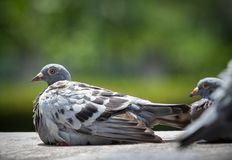 Homing pigeon sun bath on home loft Royalty Free Stock Photos