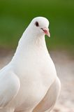 Homing pigeon. White homing pigeon on the ground Royalty Free Stock Photos
