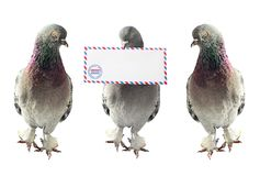 Homing pigeons with air mail envelope. Three homing pigeons side by side, one of them is holding an air mail envelope in its mouth Stock Image