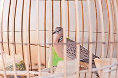 Homing Pigeons in Cage. Homing pigeons behind wire fence cage Stock Images