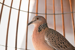 Homing Pigeons in Cage. Homing pigeons behind wire fence cage Stock Image