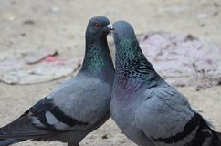 Homing pigeons couples engaged in romance/love