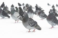 Homing pigeons Stock Photo