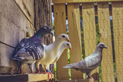 Homing pigeons in loft Stock Photos